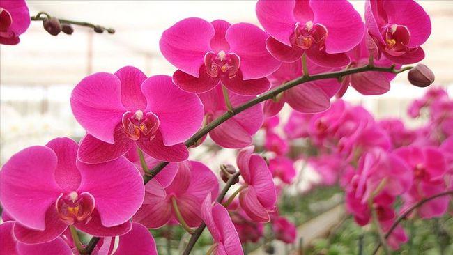 Rengarenk Sera Orkideleri