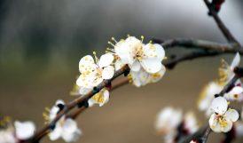 'Kayısı Çiçeği' de Turizme Kazandırılacak