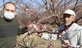 Alçak Bölgelerde Kayısı Ağaçları Çiçeklendi