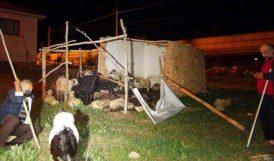 Başıboş Köpekler 12 Koyunu Telef Etti