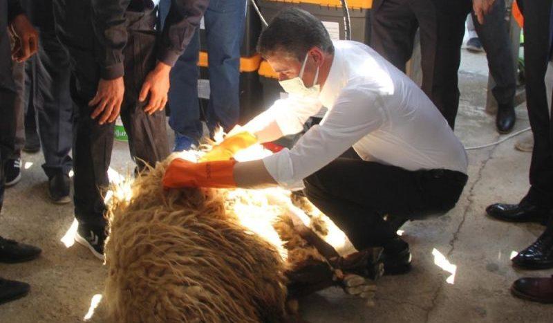 Vali Baruş Koyun Kırktı