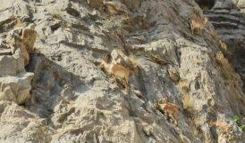 Dağ Keçilerinin Zorlu Yolculuğu