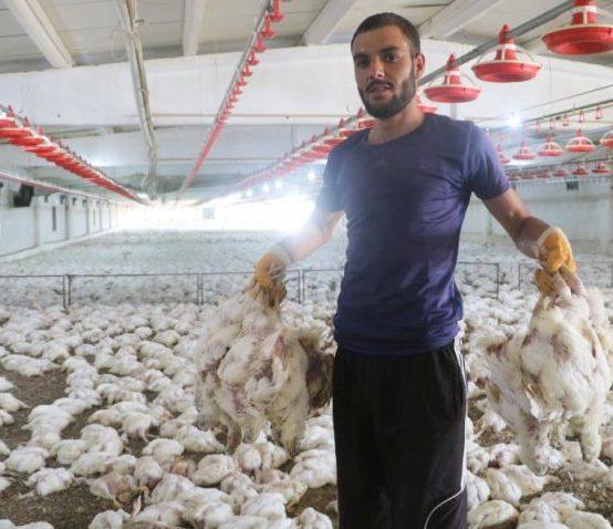 35 Bin Tavuk da Bu Çiftlikte Telef Oldu