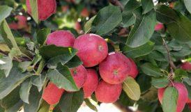 Doğanşehir'de Elma Hasadı Zamanı