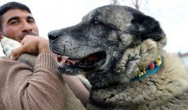 Kangal Köpeğinin Genetiğine Çipli Koruma
