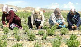 'Yazıhan'da Kekikten Beklenen Verim Alındı'